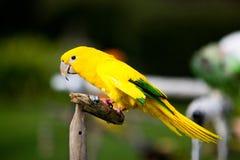 Lorikeet amarelo Imagem de Stock Royalty Free