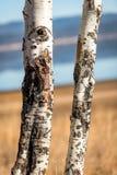 Feche acima de um par de árvores de Aspen na natureza imagens de stock royalty free