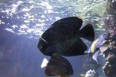 Feche acima de um peixe do Mar Negro fotos de stock
