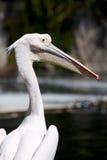 Fim-acima do pelicano Foto de Stock