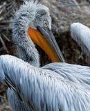 Feche acima de um pelicano Imagens de Stock