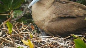 Feche acima de um pintainho vermelho-footed do peito em um ninho nas ilhas dos galalagos, Equador filme