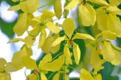 Feche acima de um ramalhete bonito da flor dourada amarela e da suspensão da flor do chuveiro de uma árvore fotografia de stock royalty free