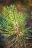 Feche acima de um ramo do pinho Foto de Stock Royalty Free