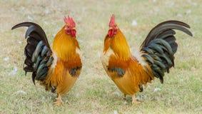 Feche acima de um retrato de duas galinhas pequenas Foto de Stock
