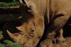 Feche acima de um rinoceronte fotos de stock