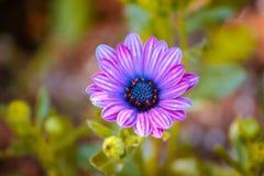 Feche acima de um roxo pequeno e de uma flor azul que florescem em um dia de mola ensolarado em Grand Rapids Michigan fotografia de stock royalty free