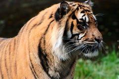 Feche acima de um tigre Fotos de Stock Royalty Free