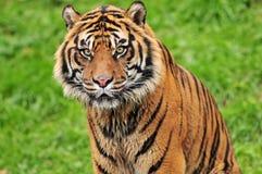Feche acima de um tigre bonito Imagem de Stock