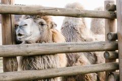 feche acima de um tiro do camelo humped dois que está perto da cerca de madeira na cerca fotos de stock
