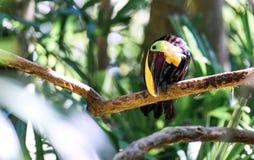 Feche acima de um tucano em uma árvore Fotos de Stock