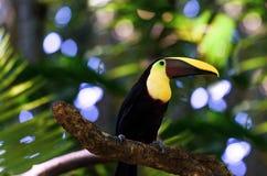 Feche acima de um tucano em uma árvore Fotografia de Stock