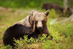 Feche acima de um urso marrom euro-asiático que risca sua cabeça fotografia de stock royalty free