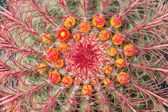 Feche acima de um wislizeni do Ferocactus do cacto de tambor do Arizona com flores Imagens de Stock Royalty Free