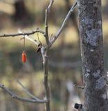 Feche acima de uma árvore da baga de Goji imagem de stock royalty free