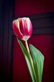 Feche acima de uma única tulipa vermelha e branca Imagens de Stock Royalty Free