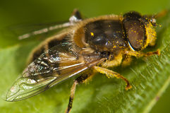 Feche acima de uma abelha Foto de Stock