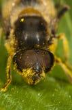 Feche acima de uma abelha Imagens de Stock
