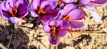 Feche acima de uma abelha em uma flor do açafrão Fotografia de Stock Royalty Free