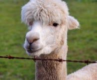 Feche acima de uma alpaca Imagens de Stock