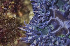 Feche acima de uma anêmona azul Fotos de Stock