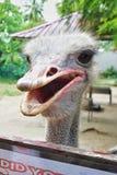 Feche acima de uma avestruz Fotografia de Stock Royalty Free