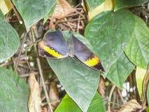 Feche acima de uma borboleta bonita no papiliorama fotografia de stock