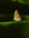 Feche acima de uma borboleta em uma tela verde Imagem conceptual Fotografia de Stock Royalty Free