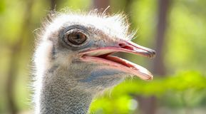 Feche acima de uma cabeça africana da avestruz Fotografia de Stock