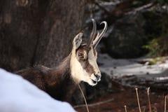 Feche acima de uma cabra-montesa Fotografia de Stock