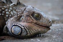 Feche acima de uma cara verde da iguana imagens de stock royalty free