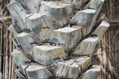 Feche acima de uma casca de uma palmeira, papel de parede tropical das árvores foto de stock royalty free