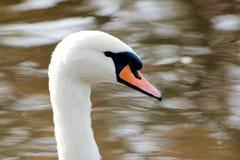 Feche acima de uma cisne Foto de Stock