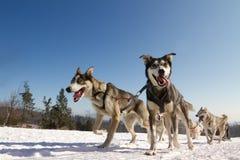 Feche acima de uma equipe do cão de trenó na ação Fotografia de Stock Royalty Free