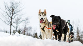 Feche acima de uma equipe do cão de trenó na ação, dirigindo para o camer Imagens de Stock Royalty Free