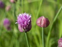 Feche acima de uma flor aberta e de um Bud Of The Herb Chives fotografia de stock royalty free