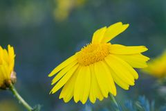 Feche acima de uma flor amarela brilhante Fotos de Stock Royalty Free