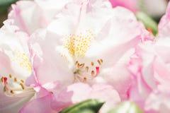 Feche acima de uma flor bonita Foto de Stock Royalty Free