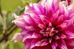 Feche acima de uma flor cor-de-rosa bonita foto de stock
