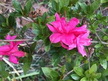 Feche acima de uma flor cor-de-rosa da azálea imagem de stock