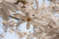 Feche acima de uma flor da mola Fotografia de Stock Royalty Free