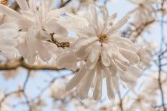 Feche acima de uma flor da mola Foto de Stock