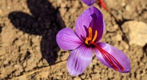Feche acima de uma flor do açafrão em um campo no outono Foto de Stock Royalty Free