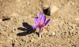 Feche acima de uma flor do açafrão em um campo no outono Fotos de Stock