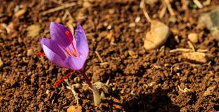 Feche acima de uma flor do açafrão em um campo no outono Imagem de Stock
