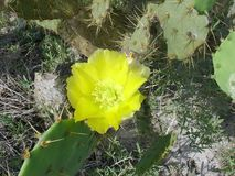 Feche acima de uma flor do cacto de pera espinhosa Fotografia de Stock Royalty Free