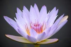 Feche acima de uma flor do lírio de água azul Fotografia de Stock