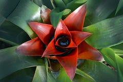 Feche acima de uma flor vermelha bonita da bromeliácea da bromeliácea na flor completa imagens de stock