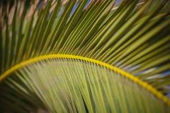 Feche acima de uma folha de palmeira que forma um arco Fotografia de Stock