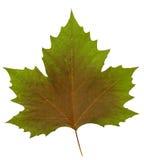 Folha da árvore plana Foto de Stock Royalty Free